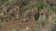 Coyote Family Playing