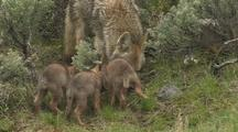 Foraging & Feeding Coyote Family
