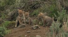 Wrestling Coyote Pups