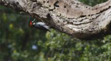 Acorn woodpecker, (Melanerpes formicivorus)