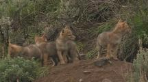 Coyote Pup Line-Up