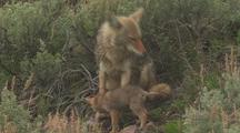 Coyote Pups With Parent Exploring The Brush