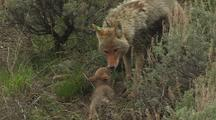 Coyote Mother Nusing All 5 Pups