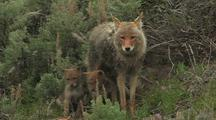 Nursing Coyote Pups
