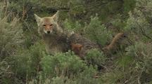 Coyote Pup And Parent
