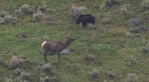 Bear Slowly Approaching Elk