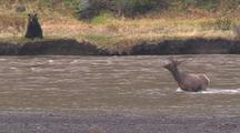 Bear Gives Up Chase Of Elk Deer (From Previous Clip), Elk Remains In River
