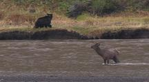 Bear Gives Up Chase Of Elk Deer (From Previous Clip) And Walks Away