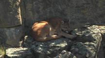 Mountain Lion, Resting In The Shade On The Rocks