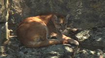 Mountain Lion Resting In Shade, Curled Up On The Rocks