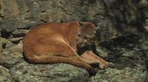 Mountain Lion, Curled Up And Resting