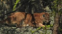 Mountain Lion Resting In Shade