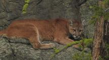 Resting Mountain Lion