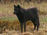 Dark Wolf, Looking Around