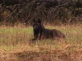 Dark Wolf Lounging In Grass