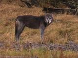 Wolf Moving Through Frame