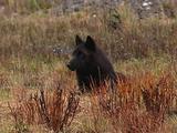 Lounging Dark Wolf