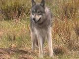 Wolf With Radio Collar Traveling Through Field