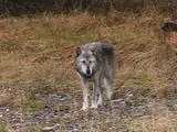 Wolf Wandering Through Trees And Grass