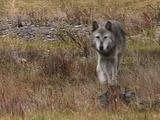 Gray Wolf, Crossing Screen