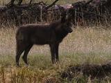 Dark Wolf Standing Still