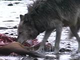 Wolf Coming Up And Feeding At Carcass Site