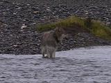 Gray Wolf Wading In River