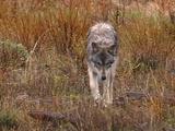 Wolf Wandering Through Grasses