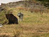 Wolf And Bear On Riverbank