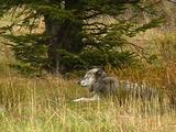 Wolf Resting Near Base Of Tree