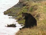 Brown Bear Scratching His Nose On The Riverbank