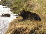 Brown Bear Resting By Riverbank