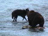 Brown Bear Splashing In River Next To A Wolf And Carcass