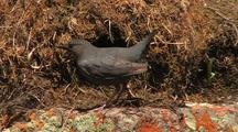 Dipper, Water Ouzel  (Cinchus Mexicanus) Displays, Builds Nest