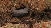 Dipper, Water Ouzel  (Cinchus Mexicanus) Displays, Builds Nest