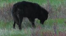 Black Wolf (Canis Lupus) Feeding