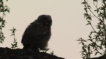 Great Horned Owl Chick (Bubo Virginianus)