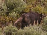 Collared Wolf (Canis Lupus) Runs Uphill