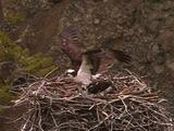 Ospreys (Pandion Haliaetus) In Nest