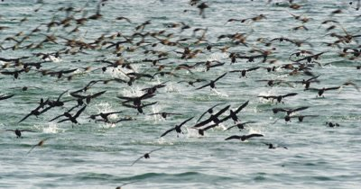 SOOTY SHEARWATERS, ((Ardenna grisea) Feeding Frenzy,