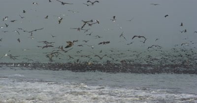 Feeding Frenzy, Shearwaters, Gulls, Pelicans Cormorants