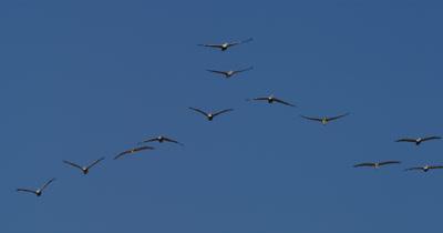 Brown Pelican, (Pelicans occidentalis)