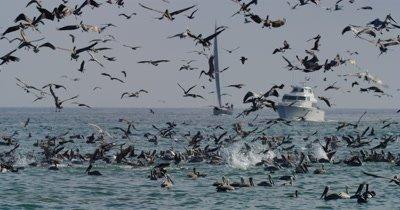 Feeding Frenzy, Gulls, Pelicans Cormorants