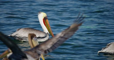 Brown Pelican, (Pelicans occidentalis)