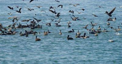 Feeding Frenzy, Gulls, Pelicans Cormorants Sea Lions
