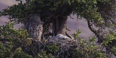 Great horned owl, (Bubo virginianus),