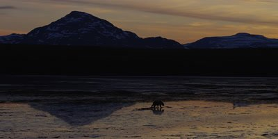 Costal Brown Bear, (Ursus arctic)