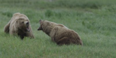 Costal Brown Bear, (Ursus arctic) FIGHT