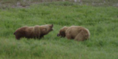 Costal Brown Bear, (Ursus arctic) FIGHT