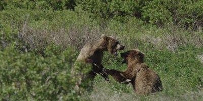 Costal Brown Bear, (Ursus arctic) Alaska